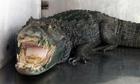 Mr Teeth the alligator