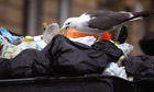 Seagull eats out of dustbin