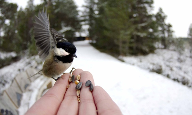 A coal tit bird feeding in Loch Garten, Scotland. This shot was taken by the nature photographer Jack Perks. He says: