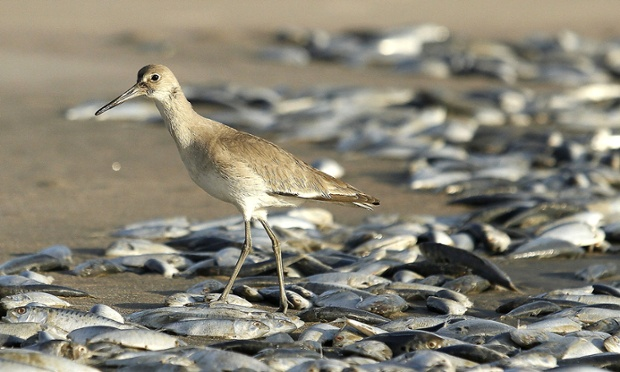 A bird walks among thousands of dead Menhaden fish washed up on the shore Pawleys Island, South Carolina