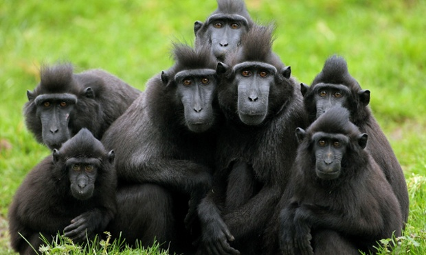 Perplexed by the cold, a group of crested macaques, more used to tropical rainforests in Indonesia, huddle for warmth in Dublin Zoo. The primates are endangered in their own land due to hunting and the clearing of their native habitat, and some are taken when very young as pets by the local population