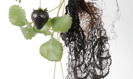 Biolace  the strawberry plant that could grown lace from its roots