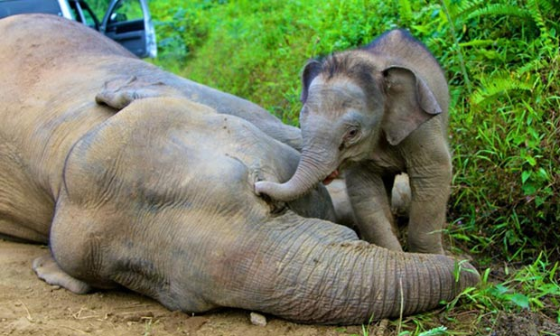 A pygmy elephant calf near its dead mother in Gunung Rara forest reserve, Malaysia, in January 2013.