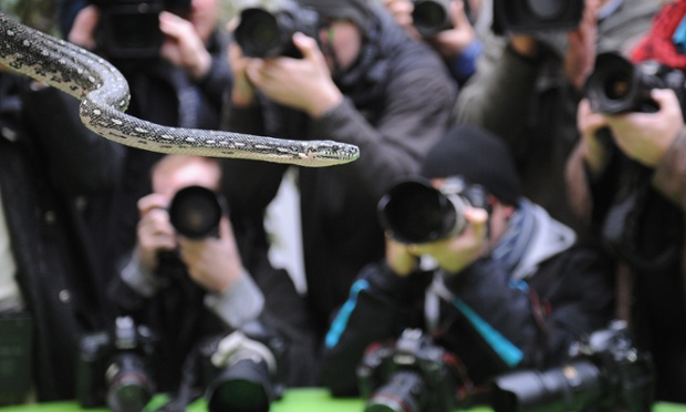 Er...one. A Diamond Python strikes a pose for photographers during the stocktake which is an annual complete head-count of every creature at the zoo, which houses over 17,000 animals.