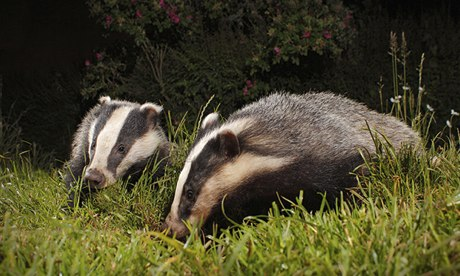 A pair of badgers.