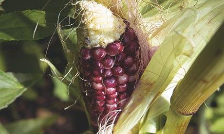 Gardens: sweetcorn 'Ruby Queen'