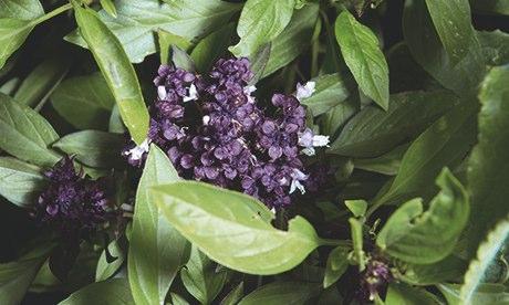 Gardens: James Wong Thai basil