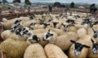 Sheep at the Lazonby Village's Auction mart in Eden Valley, UK.