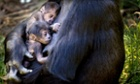 New born gorilla twins snuggle up in their mother's arms in the People Zoo in Arnhem, The Netherlands.