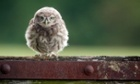 An Little Owl owlet sits on a gate waiting to be fed by its mother on a small farm in Worcestershire.