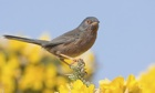Dartford Warbler, Sylvia undata. Image shot 2009. Exact date unknown.