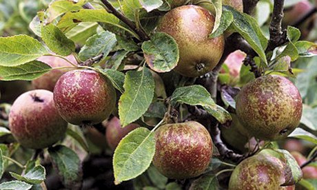 How to choose an apple tree for your garden | Life and style | The