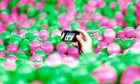 A participant takes pictures in a swimming pool filled with pink and green plastic balls during a Guinness World Records attempt of the largest ball pit.