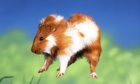 A bayby guinea pig 'popcorning'.
