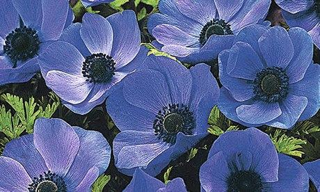 Plant of the week: Anemone 'Mr Fokker'