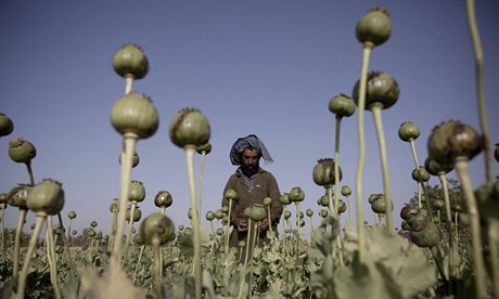 An Afghan man cultivates poppy bulbs