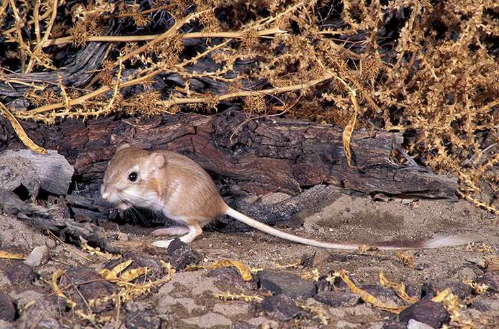 Desert Kangaroo Rat Related Keywords u0026 Suggestions - Desert Kangaroo ...