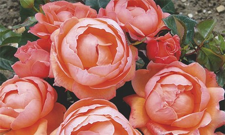 Plant of the week: Rose 'Lady Marmalade'