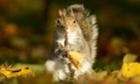 A grey squirrel holds a twig in London's Regents Park