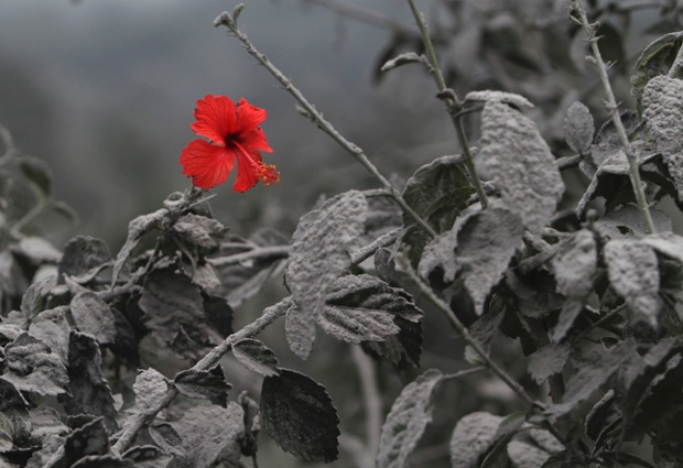 A triumph of nature: a hibiscus flowers through a blanket of ash from the volcano Mount Sinabung in north Sumatra, Indonesia.