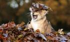 Karis, an eleven week old lion cub, plays in fallen leaves at Blair Drummond Safari Park, Scotland.