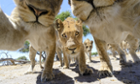 A pride of lions stare at a camera attached to a remote control buggy in Khwai region, Botswana.