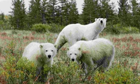 Polar bears near Churchill in a previous season.