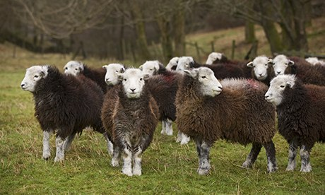 Herdwick sheep are the native breed of the central and western Lake District and live on the highest