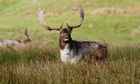 A stag in rutting season