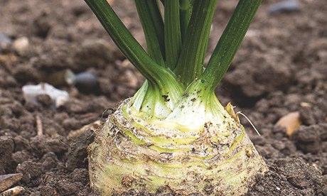 Alys Fowlerl: celeriac