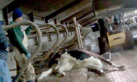 essay on cattle farming The ethical implications of factory farming  this essay will examine the rights and wrongs of factory farming  cattle, rabbits, sheep, and.