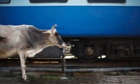 A cow drinks water from a water pipe at Allahabad railway station
