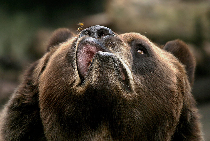 20 Photos: an irritated Kodiak bear snaps at a bee at Buffalo zoo, New York