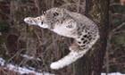 A Snow leopard leaps through the air at Bronx Zoo, New York.