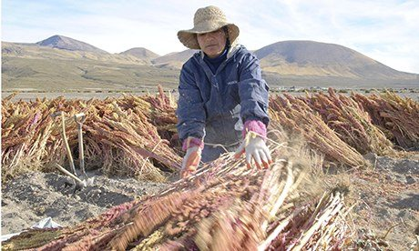 Quinoa farmer on the banks of the Salar de Uyuni