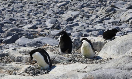 Adelie penguins nesting at Cape Denison in East Antarctica, near the site of Douglas Mawson's huts
