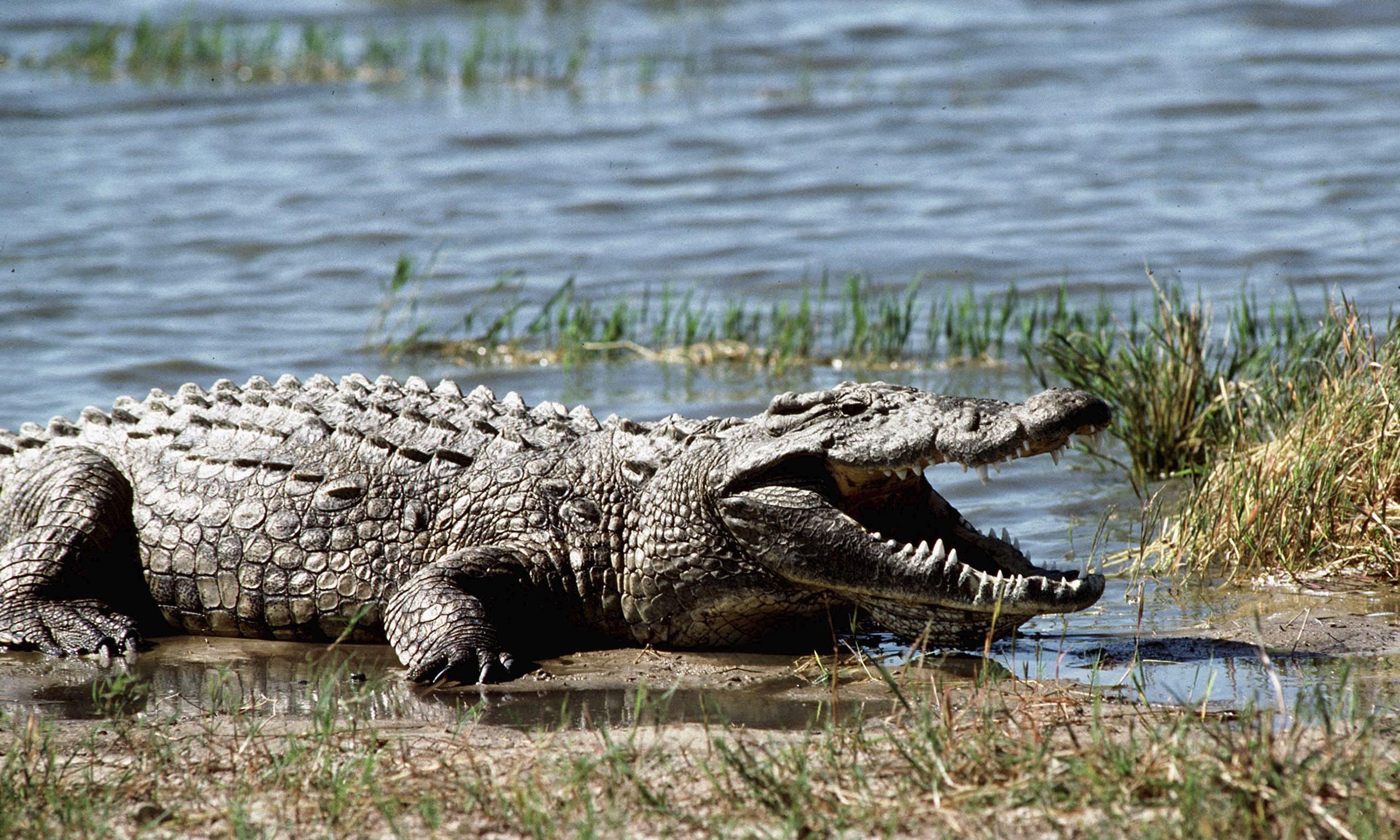 alligator wallpaper for home - photo #27