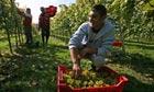 Migrant grape pickers, Sussex