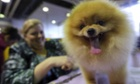 Tigger, the Pomeranian during the 137th Westminster Kennel Club dog show in New York