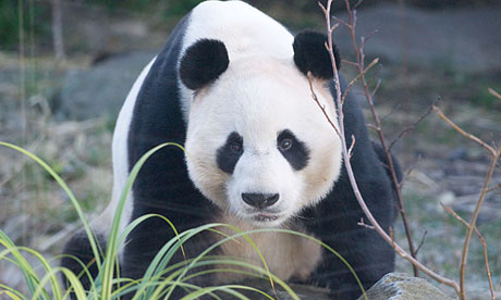 Pandas in Edinburgh zoo 'may be ready to mate soon'