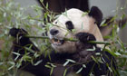 Yang Guang, male giant panda, Edinburgh Zoo