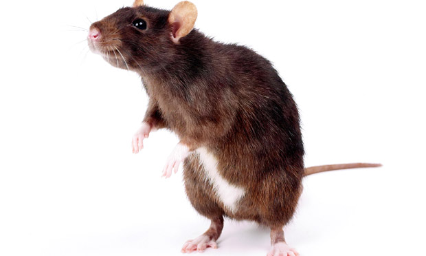 Brain To Brain Interface Lets Rats Share Information Via