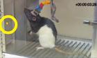 Rat with brain-to-brain implant