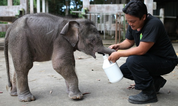 A keeper feeds an orphaned three-month-old baby pygmy elephant named Joe at Lok Kawi Wildlife Park in Kota Kinabalu in Malaysia's Sabah state. Malaysian authorities are going to offer a £1,000 reward for information on 14 rare Borneo pygmy elephants found dead last month if it is confirmed they were poisoned.