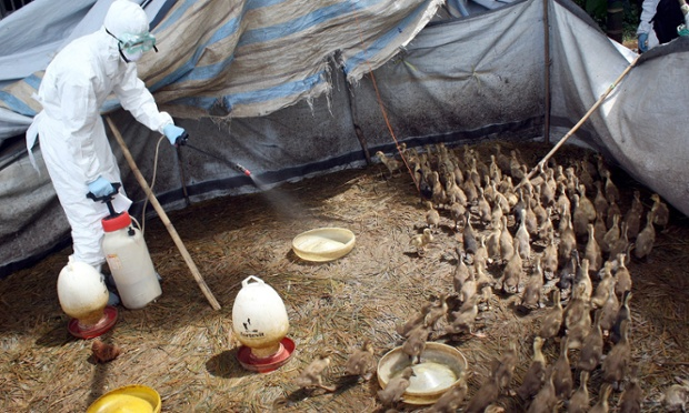 An Indonesian health official sprays disinfectant inside a duck cage at a farm after more than 1,000 ducks in the area were found dead from bird flu, in Padang Pariaman, West Sumatra province, Indonesia.