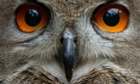 An eagle owl is seen at the Schwarze Berge wildlife park in Hamburg, northern Germany. All animals of the park were counted, measured and weighed during an annual inventory.