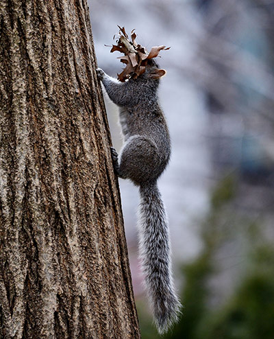Week in Wildlife: A squirrel runs up a tree with leaves it gathered