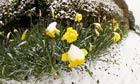 Snow-covered daffodils at Barton on Sea, Hampshire