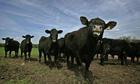 Herd of Aberdeen Angus cattle