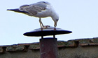 Gull on Sistine Chapel chimney